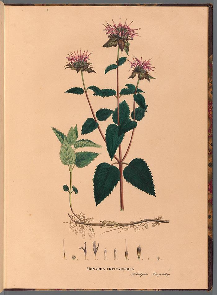 Lámina botánica vintage